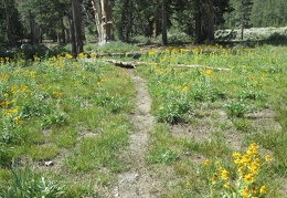 Just before arriving at Emma Lake, the trail drops down and crosses a meadow with many yellow flowers