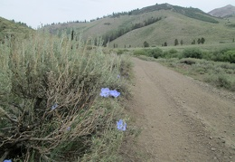 I start the hike up to Mount Patterson and notice a few Blue flax flowers along the road