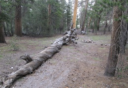 A twisted old pine tree lays on the ground