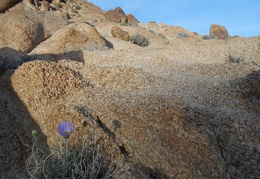 A Mojave aster adds blue to this brownish landscape