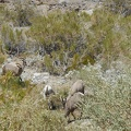 I see several sets of bighorn sheep antlers rummaging around the water at Warm Springs