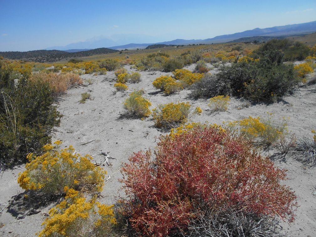 The brilliant red of hopsage bushes pops out from the rabbitbrush when walking past