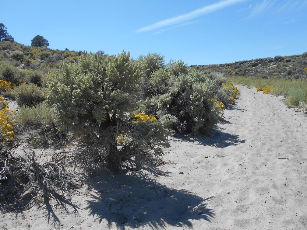 Studly old sagebrush captures my attention as I walk up the road