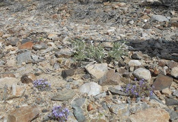 Occasional mauve flowers bloom discretely in the rocks