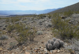 I notice some cottontop cacti with Saline Valley in the background