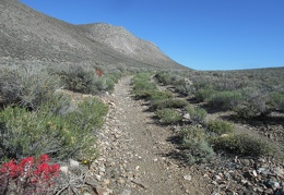 I spot a couple of Indian paintbrush plants along Jackass Flats Road