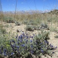 This patch of bright blue sage flowers is worth photographing