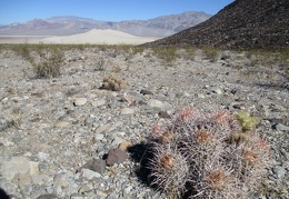 Cactus, cactus, cactus... a cottontop, a small cholla, and a hedgehog