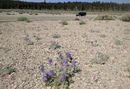 This patch has more lupines than Bigelow's monkeyflowers